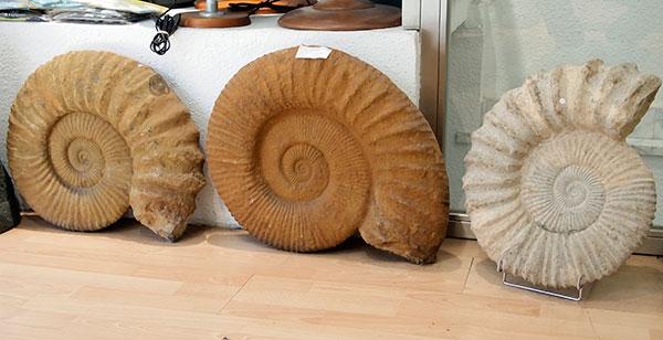 ammonites2