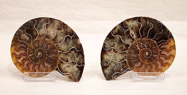 ammonites4